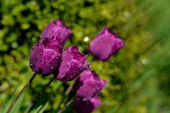 Tulipes avec effet goutte