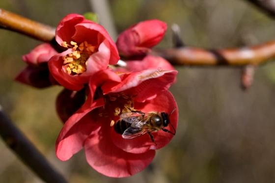 Abeille butinant une fleur du pommier du Japon