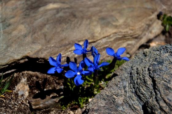Des fleurs montagnardes bleues